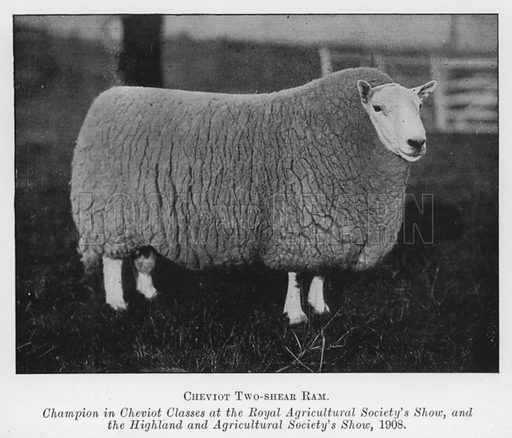 Cheviot Two-shear Ram, Champion in Cheviot Classes at the Royal Agricultural Society's Show, and the Highland and Agricultural Society's Show, 1908. Illustration for British Breeds of Live Stock (2nd edn, Board of Agriculture and Fisheries, London, 1913).
