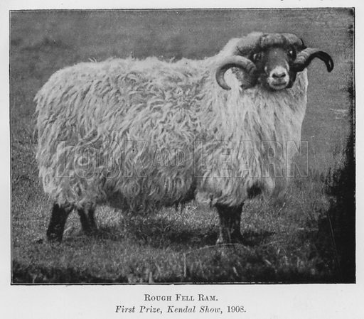 Rough Fell Ram, First Prize, Kendal Show, 1908. Illustration for British Breeds of Live Stock (2nd edn, Board of Agriculture and Fisheries, London, 1913).