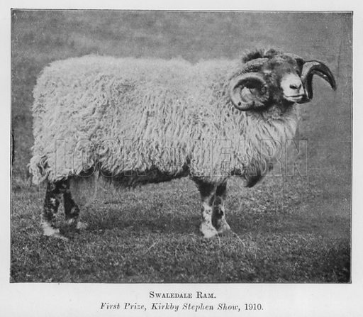 Swaledale Ram, First Prize, Kirkby Stephen Show, 1910. Illustration for British Breeds of Live Stock (2nd edn, Board of Agriculture and Fisheries, London, 1913).