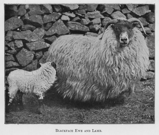 Blackface Ewe and Lamb. Illustration for British Breeds of Live Stock (2nd edn, Board of Agriculture and Fisheries, London, 1913).