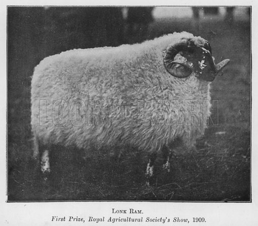 Lonk Ram, First Prize, Royal Agricultural Society's Show, 1909. Illustration for British Breeds of Live Stock (2nd edn, Board of Agriculture and Fisheries, London, 1913).