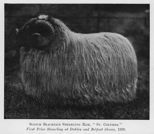 Scotch Blackface Shearling Ram, St Columba, First Prize Shearling at Dublin and Belfast Shows, 1909. Illustration for British Breeds of Live Stock (2nd edn, Board of Agriculture and Fisheries, London, 1913).