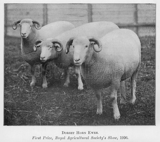 Dorset Horn Ewes, First Prize, Royal Agricultural Society's Show, 1906. Illustration for British Breeds of Live Stock (2nd edn, Board of Agriculture and Fisheries, London, 1913).