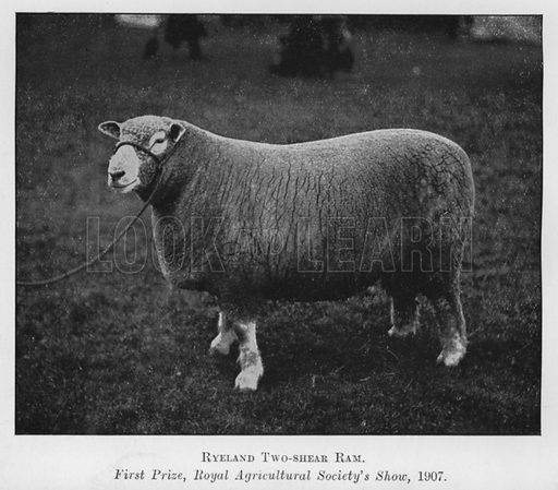 Ryeland Two-shear Ram, First Prize, Royal Agricultural Society's Show, 1907. Illustration for British Breeds of Live Stock (2nd edn, Board of Agriculture and Fisheries, London, 1913).