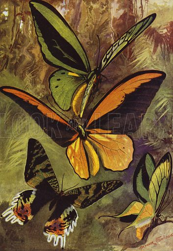 Ornithopteras, or bird-wing butterflies, and Urania Rhiphoeus. Illustration for Beautiful Butterflies of the Tropics and How to Collect Them by Arthur Twidle (RTS, 1920).