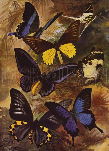 Black and gold butterflies from the East Indies. Illustration for Beautiful Butterflies of the Tropics and How to Collect Them by Arthur Twidle (RTS, 1920).