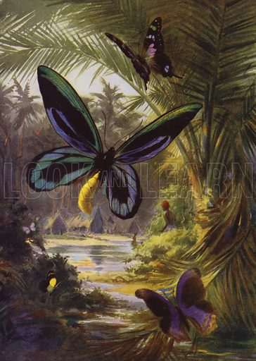 Troides Alexandrae, the largest of all butterflies. Illustration for Beautiful Butterflies of the Tropics and How to Collect Them by Arthur Twidle (RTS, 1920).