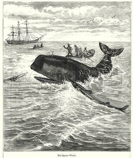 The Sperm Whale. Illustration for Chatterbox (1901). Publication made up mainly of earlier illustrations.