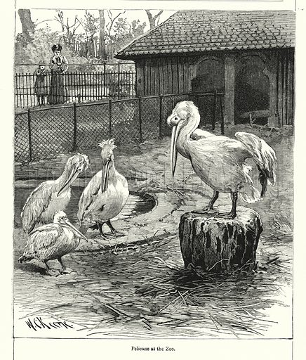 Pelicans at the Zoo. Illustration for Chatterbox (1901). Publication made up mainly of earlier illustrations.