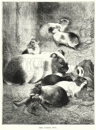 The Guinea Pigs. Illustration for The Children's Friend (1872).