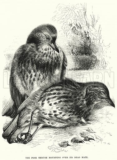 The Poor Thrush mourning over its Dead Mate. Illustration for The Children's Friend (1872).