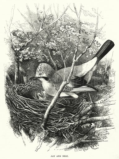 Jay and Nest. Illustration for The Children's Friend (1872).
