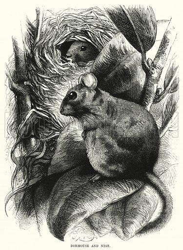Dormouse and Nest. Illustration for The Children's Friend (1872).