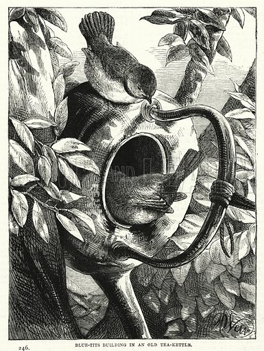 Blue-Tits building in an Old Tea-Kettle. Illustration for The Children's Friend (1881).