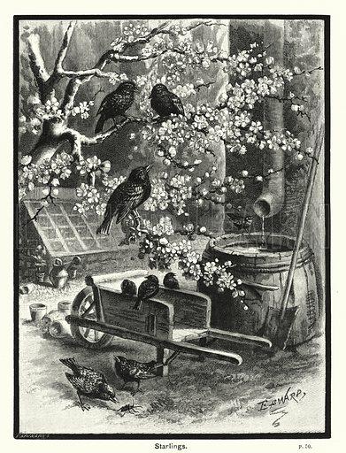 Starlings. Illustration for The Children's Friend (1888).