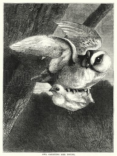 Owl carrying her young. Illustration for The Family Friend (1877).