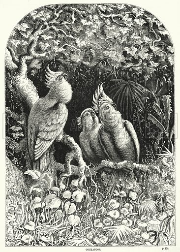 Cockatoos. Illustration for The Family Friend (1887).