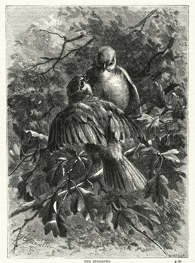 The sparrows. Illustration for The Family Friend (1887).