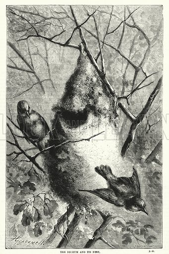 The dicaeum and its nest. Illustration for The Family Friend (1887).