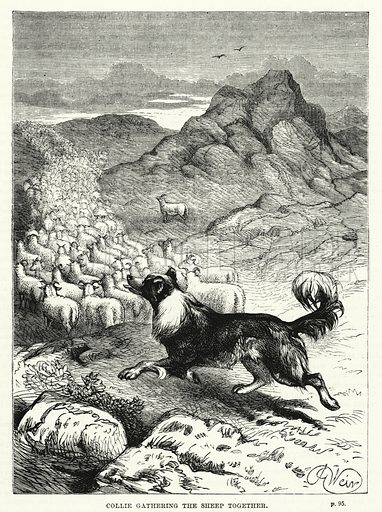 Collie gathering the sheep together. Illustration for The Family Friend (1881).