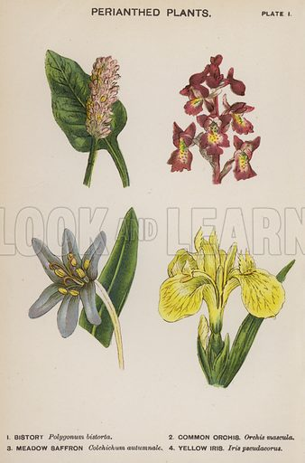Perianthed Plants. Illustration for Flowers by J E Taylor (4th edn, W H Allen, c 1900).