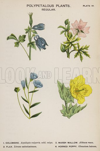 Polypetalous Plants, Regular. Illustration for Flowers by J E Taylor (4th edn, W H Allen, c 1900).