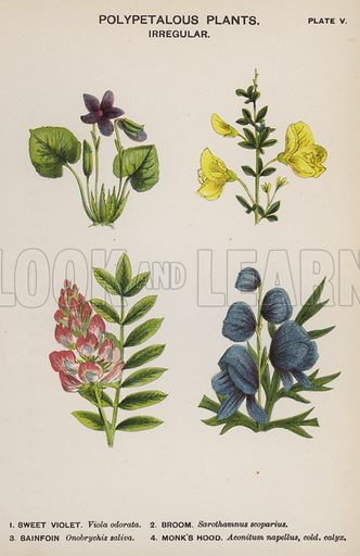 Polypetalous Plants, Irregular. Illustration for Flowers by J E Taylor (4th edn, W H Allen, c 1900).