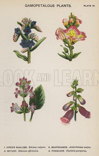 Gamopetalous Plants. Illustration for Flowers by J E Taylor (4th edn, W H Allen, c 1900).