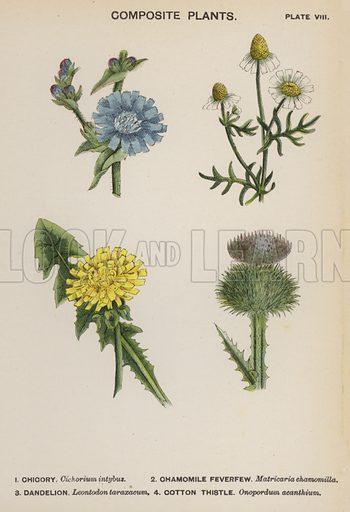 Composite Plants. Illustration for Flowers by J E Taylor (4th edn, W H Allen, c 1900).