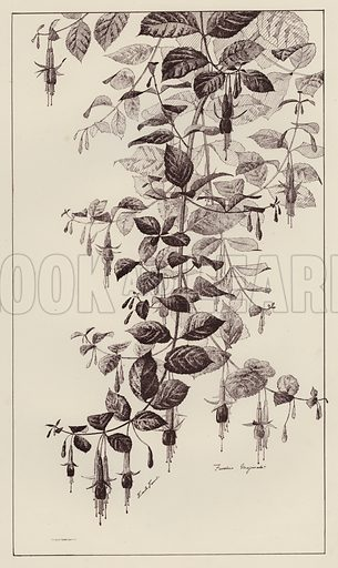 Fuschia Maginata.  Illustration for Flowers and Plants from Nature by Emile Favart (Mounteney, c 1880).
