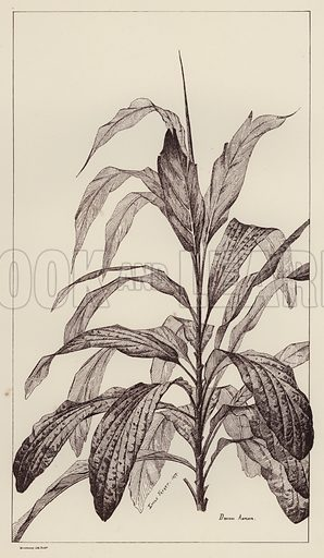 Draciena Ampliata.  Illustration for Flowers and Plants from Nature by Emile Favart (Mounteney, c 1880).