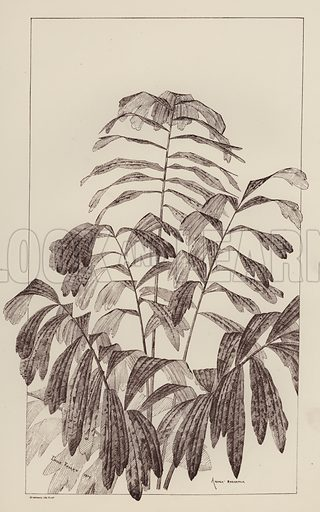 Arenga Saccaritlia. Illustration for Flowers and Plants from Nature by Emile Favart (Mounteney, c 1880).