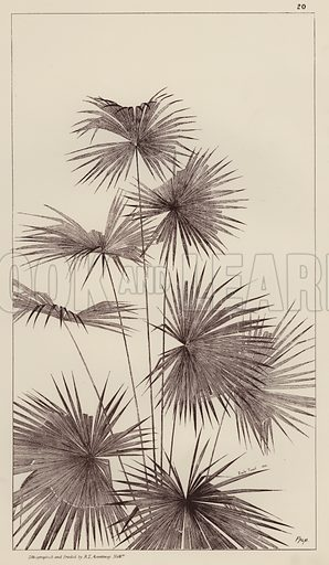 Palm.  Illustration for Flowers and Plants from Nature by Emile Favart (Mounteney, c 1880).
