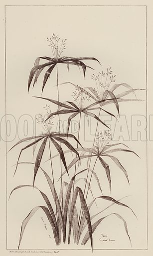 Palm Cyperus Luscus.  Illustration for Flowers and Plants from Nature by Emile Favart (Mounteney, c 1880).