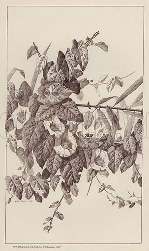 Illustration for Flowers and Plants from Nature by Emile Favart (Mounteney, c 1880).