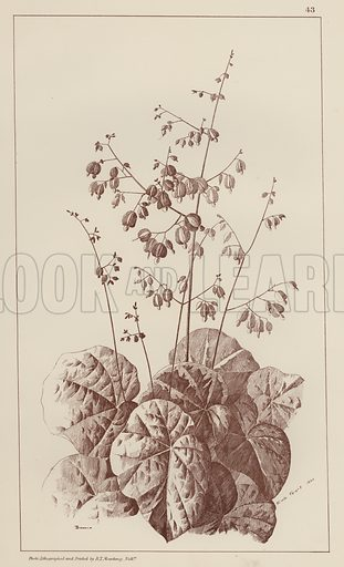 Bigonia.  Illustration for Flowers and Plants from Nature by Emile Favart (Mounteney, c 1880).