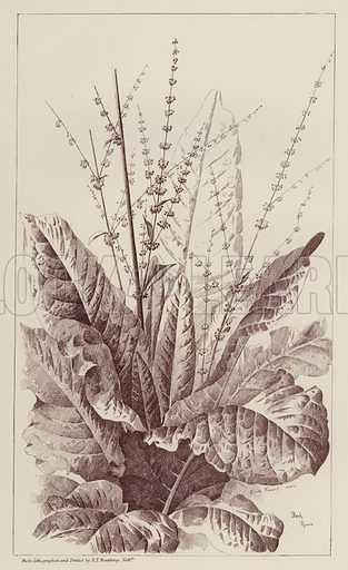 Dock, Rumex.  Illustration for Flowers and Plants from Nature by Emile Favart (Mounteney, c 1880).