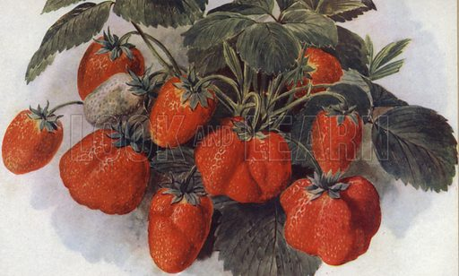 """Early Strawberry, """"King George."""" Illustration for Fruit and its Cultivation by T W Sanders (Collingridge, 1926)."""