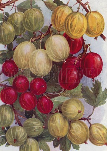 Seven Good Gooseberries. Illustration for Fruit and its Cultivation by T W Sanders (Collingridge, 1926).