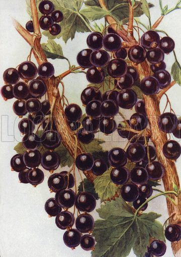 "Black Currant ""Daniels' September."" Illustration for Fruit and its Cultivation by T W Sanders (Collingridge, 1926)."