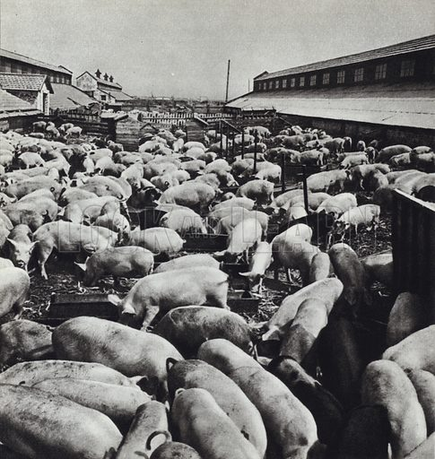 The piggery at one of the state farms of the Stavropol Territory in Northern Caucasus. Illustration for Glimpses of the USSR its Economy and Geography by Nikolai Mikhailov (Foreign Languages Publishing House, Moscow, 1960).