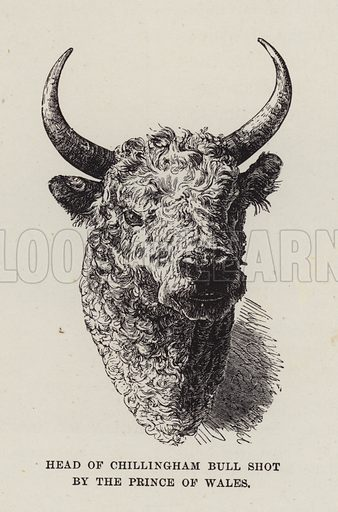 Chillingham Castle, Head of Chillingham Bull shot by the Prince of Wales. Illustration for Historic Houses of the United Kingdom (Cassell, 1892).