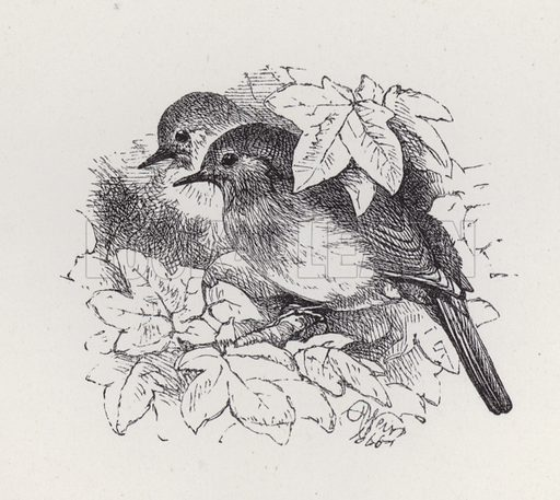 Robins. Illustration for The History of the Robins by Mrs Trimmer (Griffith and Farran, 1869).