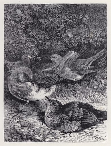 The Greedy Young Robin. Illustration for The History of the Robins by Mrs Trimmer (Griffith and Farran, 1869).