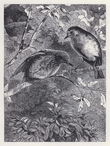 Learning to Fly. Illustration for The History of the Robins by Mrs Trimmer (Griffith and Farran, 1869).