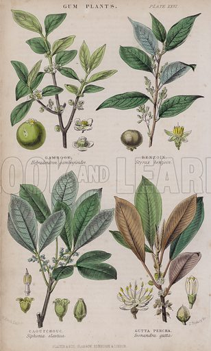 Gamboge; Benzoin; Caoutchouc; Gutta Percha. Illustration for A History of the Vegetable Kingdom by William Rhind (Blackie, 1855).