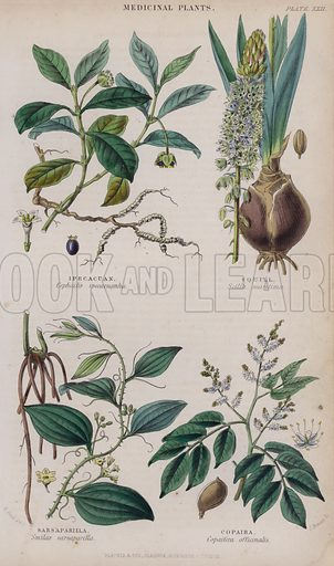 Ipecacuan; Squill; Sarsaparilla; Copaiba. Illustration for A History of the Vegetable Kingdom by William Rhind (Blackie, 1855).