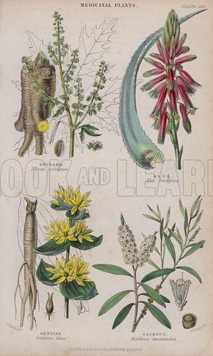 Rhubarb; Aloe; Gentian; Cajeput. Illustration for A History of the Vegetable Kingdom by William Rhind (Blackie, 1855).