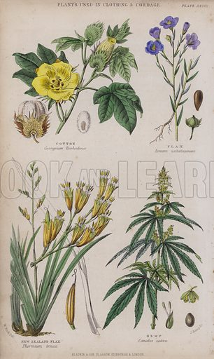 Cotton; Flax; New Zealand Flax; Hemp. Illustration for A History of the Vegetable Kingdom by William Rhind (Blackie, 1855).