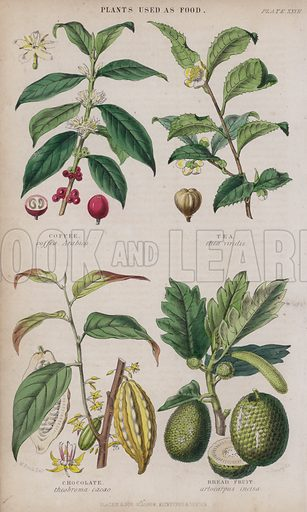 Coffee; Tea; Chocolate; Bread Fruit. Illustration for A History of the Vegetable Kingdom by William Rhind (Blackie, 1855).